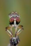 Opinião frontal uma mosca de salteador fotografia de stock