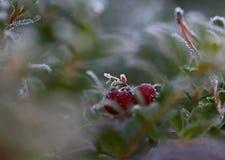 Opinião gelado do lingonberry da manhã do outono fotografia de stock royalty free