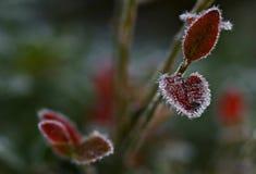 Opinião gelado do mirtilo da manhã do outono imagens de stock