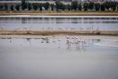 Opinião grandes flamingos em Al Wathba Wetland Reserve Abu Dhabi, UAE fotografia de stock royalty free