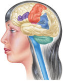 Opinião lateral cortante do crânio do cérebro in situ - Fotos de Stock Royalty Free