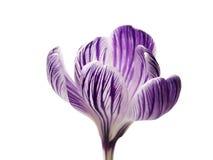 Opinião lateral da flor do açafrão Fotografia de Stock
