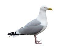 Opinião lateral da gaivota isolada Imagem de Stock Royalty Free