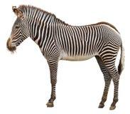 Opinião lateral da zebra Foto de Stock