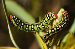 Opinião lateral das lagartas da falcão-traça de Spurge - euphorbiae de Hyles Fotografia de Stock