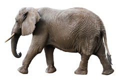 Opinião lateral de elefante africano isolada no branco