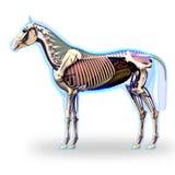 Opinião lateral de esqueleto com órgãos - anatomia do cavalo do Equus do cavalo - iso Foto de Stock