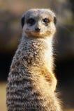 Opinião lateral 3 de Meerkat Foto de Stock Royalty Free