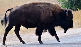 Opinião lateral do bisonte Fotografia de Stock Royalty Free