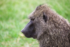 Opinião lateral do close-up um babuíno no parque nacional de Maasai Mara (Kenya) Foto de Stock