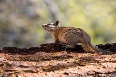 Opinião lateral do esquilo Imagem de Stock
