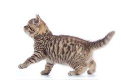 Opinião lateral do gato novo Gatinho de passeio do gato malhado isolado no branco fotografia de stock royalty free