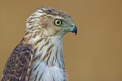 Opinião lateral do retrato de um falcão dos tanoeiros Foto de Stock Royalty Free