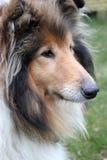 Opinião lateral do retrato do sheepdog de Shetland imagens de stock