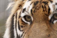 Opinião lateral do retrato do tigre de Amur foto de stock royalty free