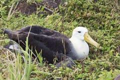 Opinião lateral frontal um albatroz do assentamento fotos de stock royalty free