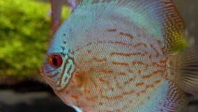 Opinião lateral macro peixes azul-vermelhos do disco em um aquário de água doce no fundo verde blury da alga e das bolhas lado video estoque