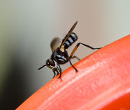 Opinião lateral a mosca de ladrão (asilidae) que pendura no aço vermelho Imagem de Stock