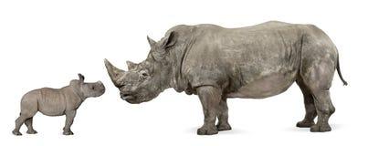 Opinião lateral o rinoceronte branco da matriz e do bebê Fotos de Stock Royalty Free