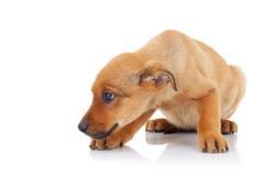 Opinião lateral um cão de filhote de cachorro disperso marrom Foto de Stock