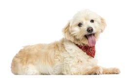 Opinião lateral um cão do híbrido que veste o bandana vermelho imagens de stock