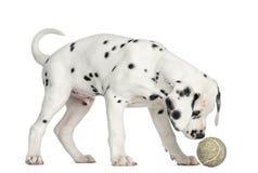Opinião lateral um cachorrinho Dalmatian que aspira uma bola de tênis Imagem de Stock