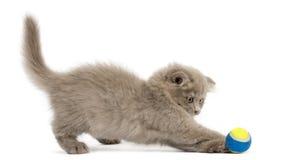 Opinião lateral um gatinho da dobra das montanhas que joga com uma bola, isolat Imagem de Stock