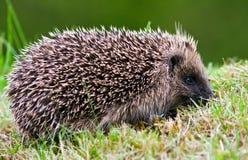 Opinião lateral um hedgehog em um gramado Imagem de Stock