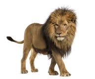 Opinião lateral um leão que anda, Leão do Panthera, 10 anos velho