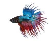 Opinião lateral um peixe de combate Siamese, splendens de Betta, isolados Foto de Stock