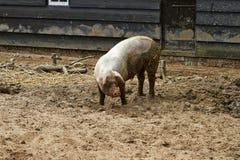 Opinião lateral um porco grande em uma exploração agrícola em Arnhem, os Países Baixos julho fotos de stock