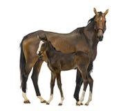Opinião lateral uma égua e seu potro Foto de Stock Royalty Free