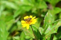 Opinião lateral uma abelha que suga o néctar de um wildflower amarelo em Krabi, Tailândia Imagem de Stock