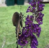 Opinião lateral uma borboleta de Swallowtail do preto de Lage imagens de stock royalty free