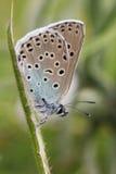 A opinião lateral uma grande borboleta azul rara impressionante, arion de Maculinea, empoleirado em uma haste da planta Fotos de Stock Royalty Free