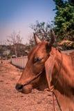 Opinião lateral uma vaca foto de stock