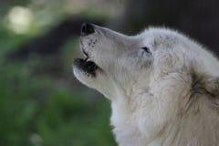 Opinião lateral Wolf Howling branco ártico nas madeiras Foto de Stock Royalty Free