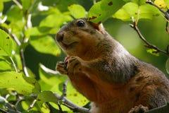 Opinião macro do lado de baixo o esquilo que come uma baga em uma copa de árvore fotografia de stock royalty free