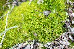 Opinião macro o musgo verde Imagem de Stock Royalty Free
