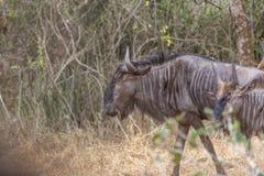 Opinião o gnu africano, detalhada no habitat natural, Angola fotos de stock royalty free
