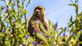 Opinião o macaco em uma construção na montanha, gibraltar Foto de Stock Royalty Free