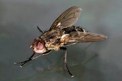 Opinião oblíqua macro da mosca da casa Fotos de Stock Royalty Free