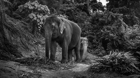 Opinião os elefantes que comem folhas de palmeira em um monte Fotos de Stock Royalty Free