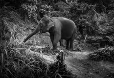 Opinião os elefantes que comem folhas de palmeira em um monte Fotos de Stock