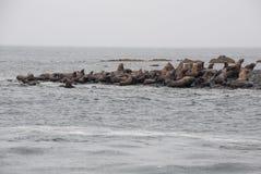 Opinião os leões de mar que descansam na praia na costa Fotografia de Stock Royalty Free