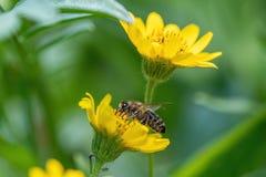 Opinião próxima a abelha na flor amarela da erva de ArnicaArnica Montana Nota: Profundidade de campo rasa fotos de stock royalty free