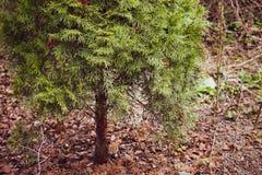 Opinião próxima da árvore do onifer do ¡ de Ð em um parque foto de stock royalty free