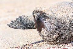 Opinião próxima o leão de mar de Galápagos que encontra-se na areia em Espanola Islan fotos de stock