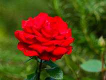 Opinião próxima a rainha vermelha Rosa imagem de stock royalty free