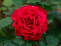 Opinião próxima a rainha vermelha Rosa imagens de stock royalty free